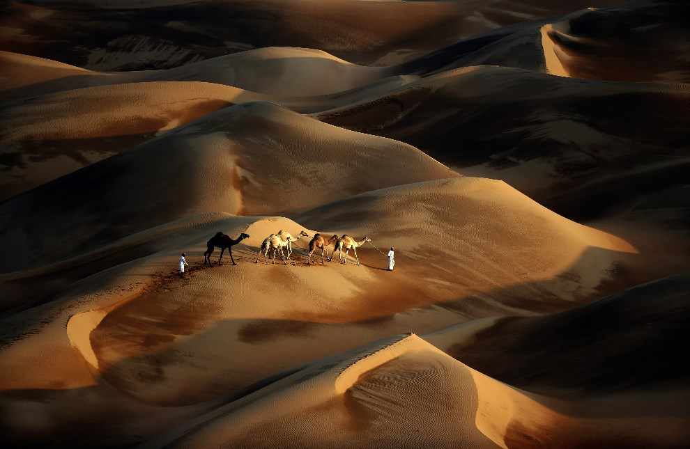 29.ZEA, Dubaj, 23 lstopada 2013: Wielbłądy prowadzone przez pustynię.  AFP PHOTO/KARIM SAHIB