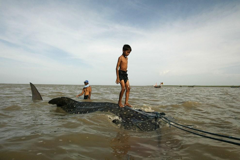 35.INDONEZJA, Surabaya, 22 października 2013: Chłopiec stojący na grzbiecie złowionego rekina wielorybiego.  AFP PHOTO / JUNI KRISWANTO