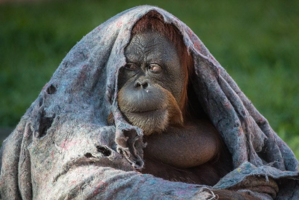 39.BRAZYLIA, Rio de Janeiro, 22 sierpnia 2013: Orangutan przykrywający się szmatą. AFP FOTO:  / YASUYOSHI CHIBA