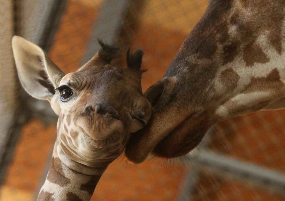 41.Japonia, Himeji, 16 października 2013: Jedenastodniowa żyrafa z matką, mieszkające w ogrodzie zoologicznym. (Foto: Buddhika Weerasinghe/Getty Images)