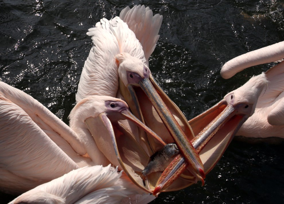 8.NIEMCY, Marlow, 21 sierpnia 2013: Pelikany walczące o pokarm. AFP FOTO:  / DPA/ BERND WÜSTNECK