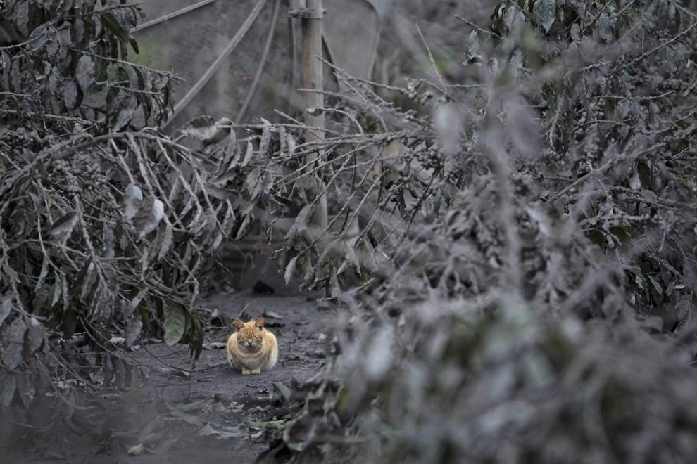 12.INDONEZJA, Sebintun, 9 stycznia 2014: Kot pośród zarośli przykrytych pyłem wulkanicznym. (Foto: Ulet Ifansasti/Getty Images)