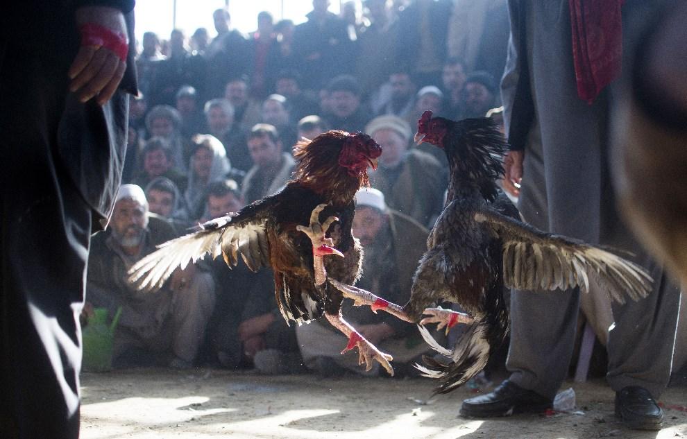 15.AFGANISTAN, Kabul, 17 stycznia 2014: Walka kogutów zorganizowana w Kabulu. AFP PHOTO/JOHANNES EISELE