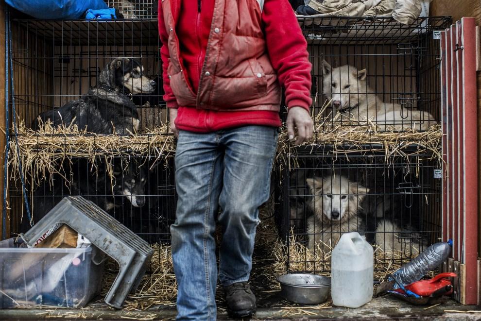 15.FRANCJA, Sixt-Fer-a-Cheval, 13 stycznia 2014: Opiekun psów uczestniczących w wyścigu Grande Odyssee. AFP PHOTO / JEFF PACHOUD