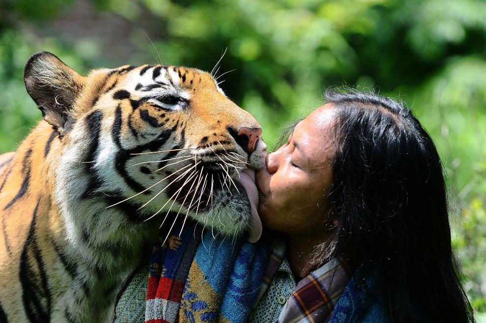 17.INDONEZJA, Malang, 20 stycznia 2014: Abdullah Sholeh i jego podopieczny – tygrys bengalski Mulan Jamilah. (Foto: Robertus Pudyanto/Getty Images)