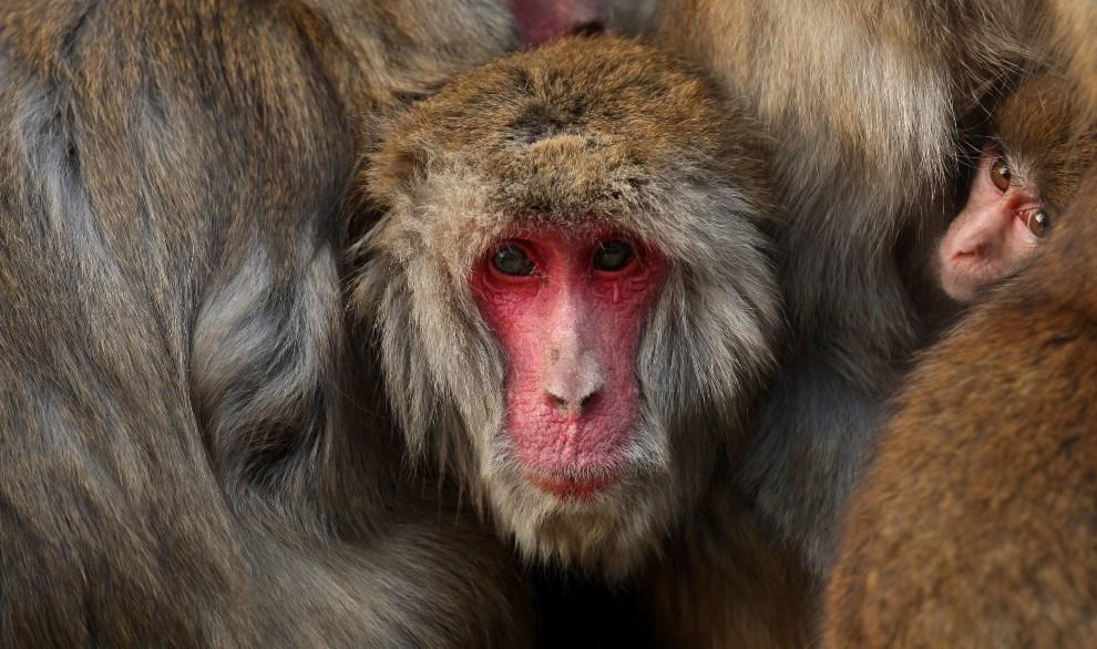 1.JAPONIA, Sumoto, 18 stycznia 2014: Ogrzewające się makaki nad brzegiem zbiornika wodnego. (Foto: Buddhika Weerasinghe/Getty Images)