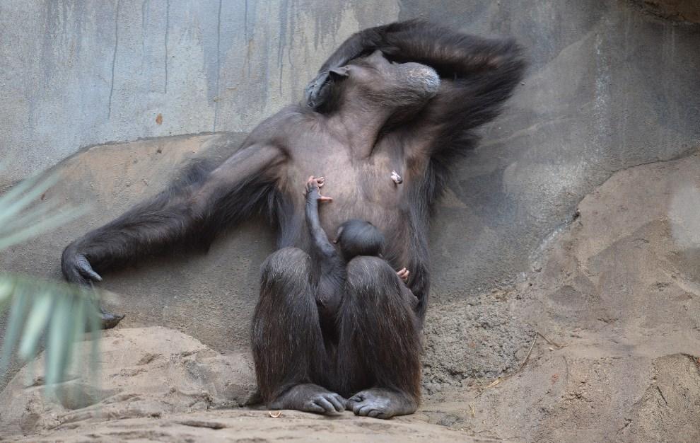 21.NIEMCY, Osnabrück, 6 stycznia 2014: 31-letnia szympansica z miejskiego ogrodu zoologicznego.  AFP PHOTO / DPA/ CARMEN JASPERSEN