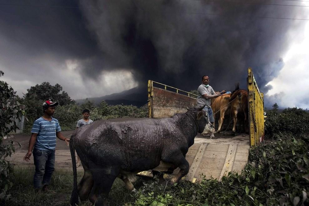 23.INDONEZJA, Berastepu, 4 stycznia 2014: Mężczyźni wywożą bydło z zagrożonego rejonu. EPA/DEDI SAHPUTRA Dostawca: PAP/EPA.