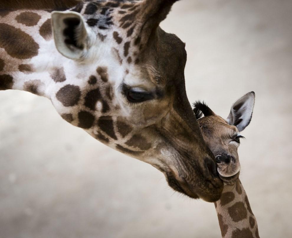 29.NIEMCY, Kronberg, 7 stycznia 2014: Żyrafy z miejskiego ogrodu zoologicznego. AFP PHOTO / DPA / FRANK RUMPENHORST