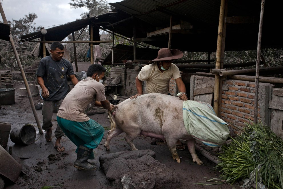 28.INDONEZJA, Sebintun, 9 stycznia 2014: Mieszkańcy wsi starają się wywieźć świnię z zagrożonego obszaru. (Foto: Ulet Ifansasti/Getty Images)