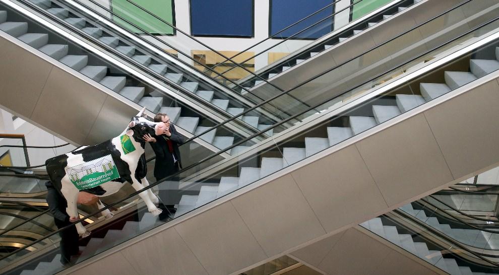 """30.NIEMCY, Berlin, 17 stycznia 2014: Mężczyźni transportuję plastikową krowę na stoisko jednego z wystawców podczas  """"Gruene Woche"""". AFP PHOTO / DAP/WOLFGANG KUMM"""