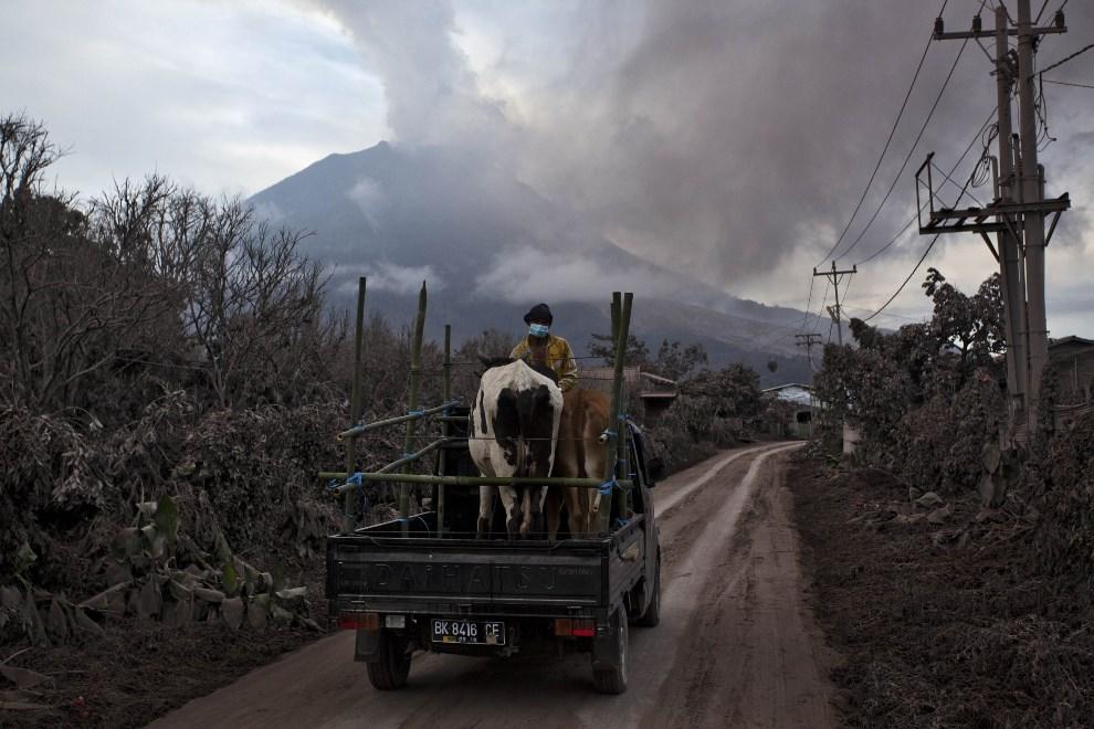 31.INDONEZJA, Tiga Pancur, 5 stycznia 2014: Mężczyzna wywożący zwierzęta z zagrożonego obszaru. (Foto: Ulet Ifansasti/Getty Images)