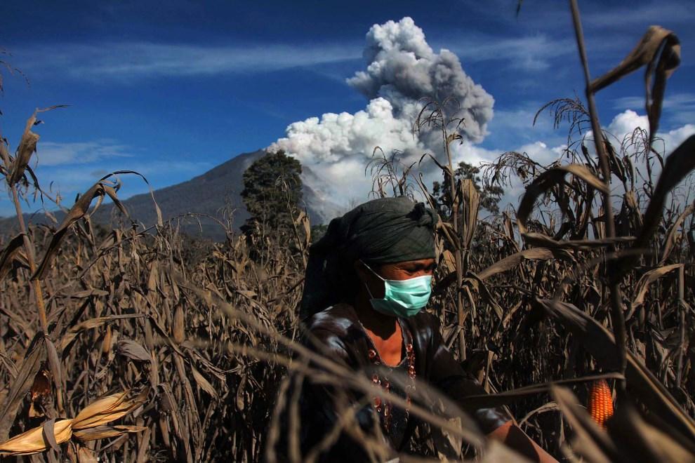 5.INDONEZJA, Karo, 11 stycznia 2014: Kobieta na polu kukurydzy. AFP PHOTO / ATAR