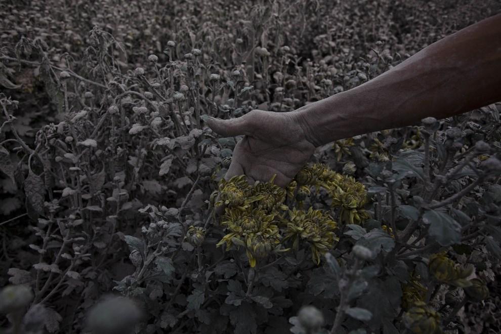 6.INDONEZJA, Tiga Pancur, 5 stycznia 2014: Rolnik pokazuje kwiaty przykryte pyłem wulkanicznym. (Foto: Ulet Ifansasti/Getty Images)