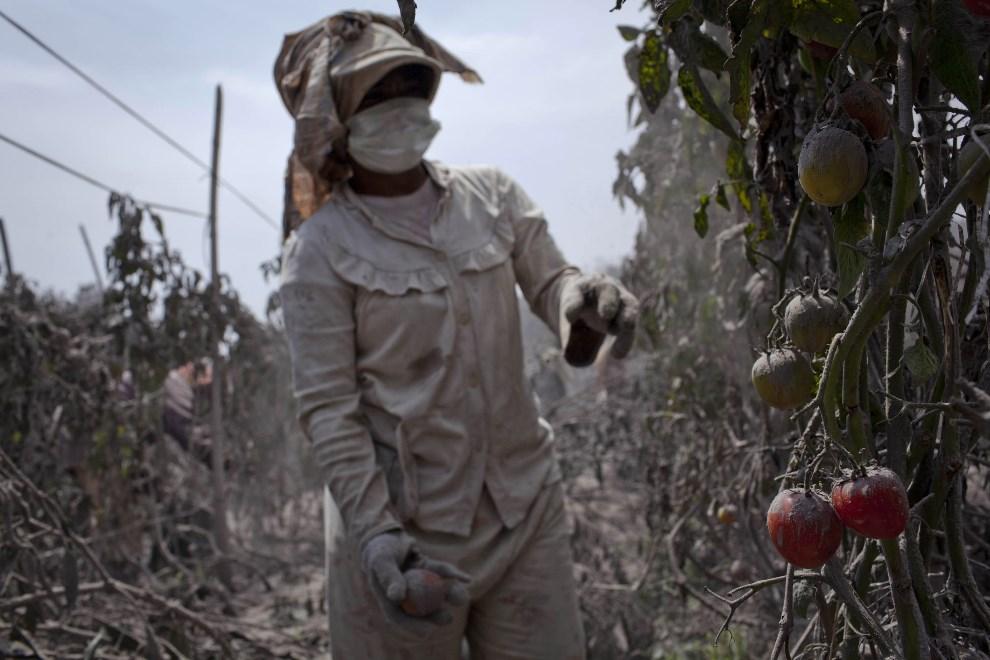 7.INDONEZJA, Tiga Pancur, 6 stycznia 2014: Kobieta zbierająca pomidory. (Foto: Ulet Ifansasti/Getty Images)