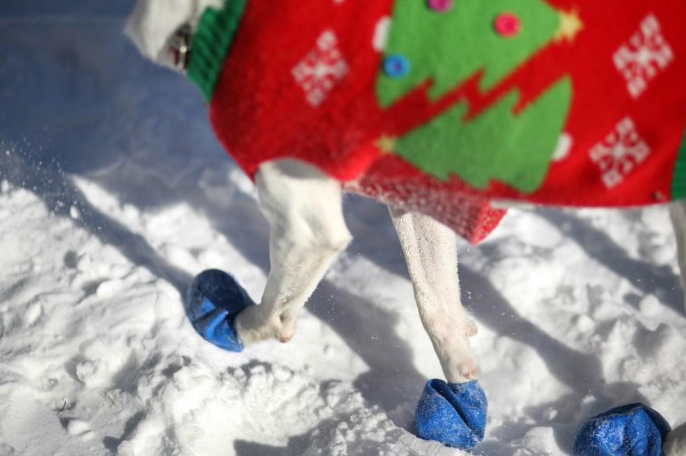 8.USA, Nowy Jork, 4 stycznia 2014: Pies ratowniczy w specjalnych ochraniaczach na łapach. Yana Paskova/Getty Images/AFP