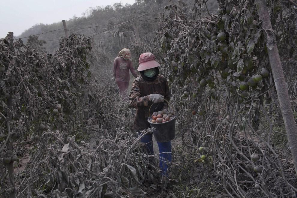9.INDONEZJA, Tiga Pancur, 6 stycznia 2014: Mieszkańcy pobliskiej wsi zbierają pomidory. (Foto: Ulet Ifansasti/Getty Images)