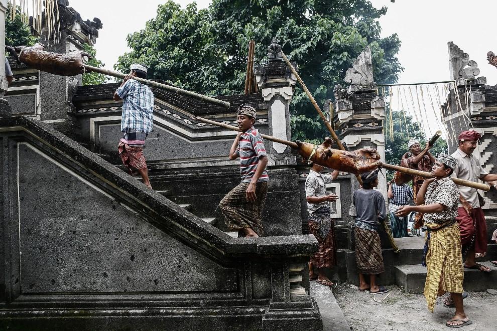 10.BALI, Karangasem, 27 lutego 2014: Mieszkańcy wsi niosą pieczone prosięta do świątyni Dalem, jako ofiarę w intencji pomyślnych zbiorów. (Foto: Putu Sayoga/Getty   Images)