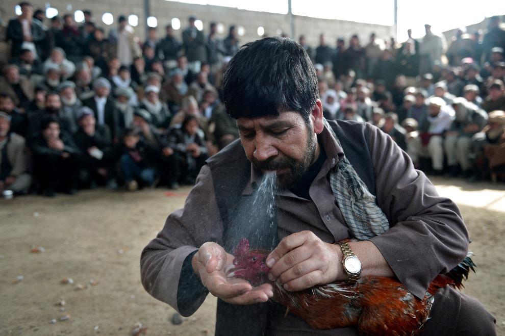 17. AFGANISTAN, Kabul, 14 lutego 2014: Mężczyzna zrasza wodą koguta walczącego na arenie. AFP PHOTO/Wakil KOHSAR