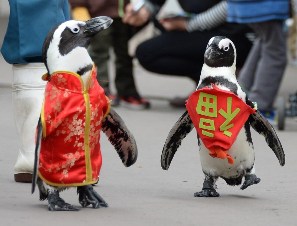 """21.JAPONIA, Jokohama, 26 stycznia 2014: Pingwiny w strojach stylizowanych na tradycyjne ubrania (napis po prawej oznacza """"szczęście""""). AFP PHOTO/Toru YAMANAKA"""