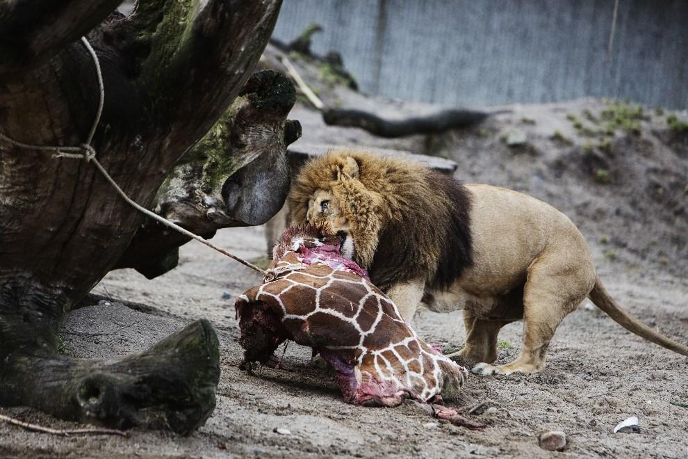 22.DANIA, Kopenhaga, 9 lutego 2014: Lew z ogrodu zoologicznego zjada żyrafę zastrzeloną przez pracowników zoo. AFP PHOTO / SCANPIX DENMARK / KASPER PALSNOV