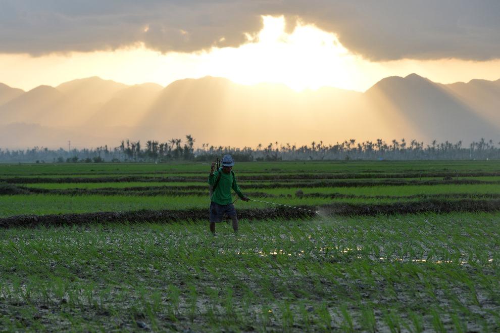 23. FILIPINY, Santa Fe, 17 lutego 2014: Rolnik rozpyla pestycydy na polu ryżowym. AFP PHOTO/TED ALJIBE