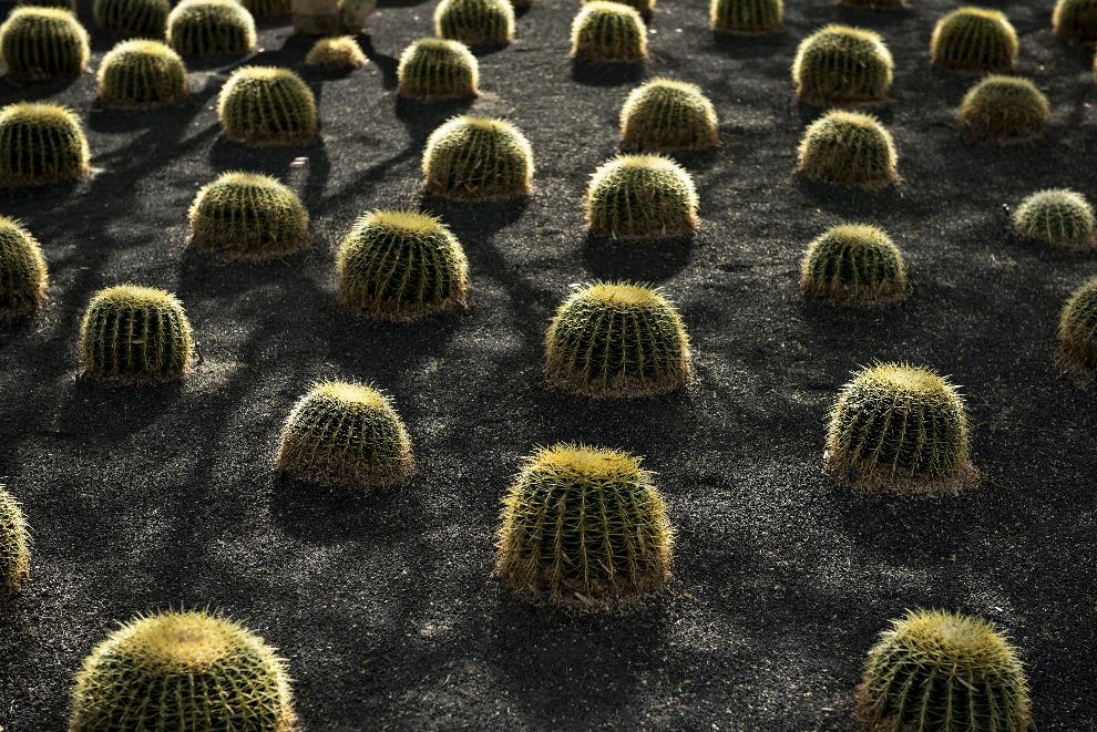 24. USA, Rancho Mirage, 15 lutego 2014: Kaktusy hodowane na Racho Mirage. AFP PHOTO/Brendan SMIALOWSKI