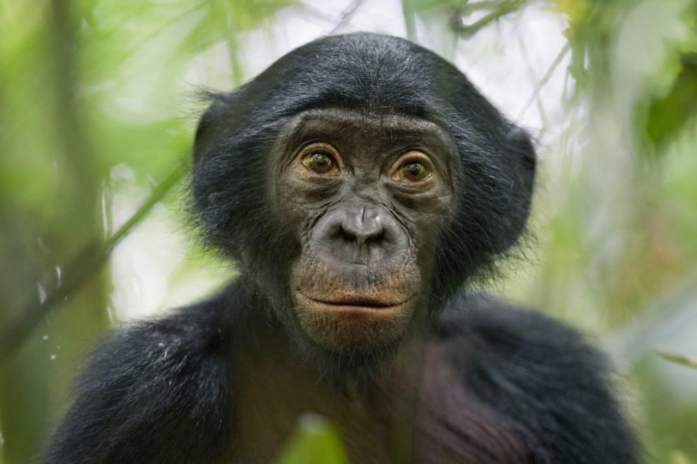 28.DRK, Kokolopori: Szympans karłowaty, bonobo, przygląda się fotografowi przebyającemu na terenie rezerwatu. EPA/CHRISTIAN ZIEGLER / NATIONAL GEOGRAPHIC MAGAZINE   Dostawca: PAP/EPA.