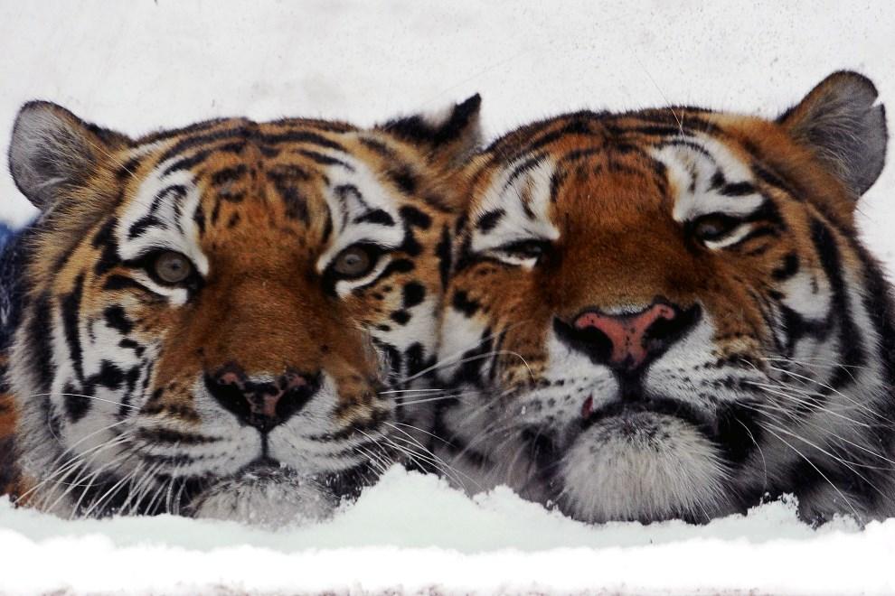 5. ROSJA, Petersburg, 2 lutego 2014: Tygrysy z miejskiego ogrodu zoologicznego. AFP PHOTO/OLGA MALTSEVA