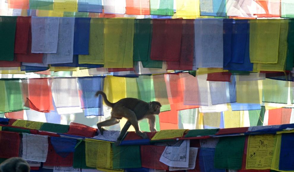 6. NEPAL, Katmandu, 4 lutego 2014: Małpa przechodzi po rozpiętych flagach modlitewnych. AFP PHOTO/Prakash MATHEMA