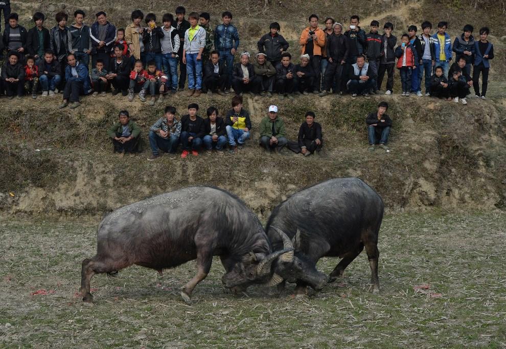 7. CHINY, Biasha, 4 lutego 2014: Bawoły walczące podczas uroczystości związanych z nowym rokiem. AFP PHOTO/Mark RALSTON