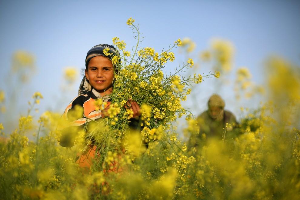 13.STREFA GAZY, 20 marca 2014: Palestyńska dziewczynka zbiera kwiaty dzikiej gorczycy. AFP PHOTO/MOHAMMED ABED