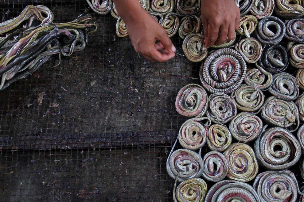 17.INDONEZJA, Cirebon, 2 marca 2014: Mężczyzna wkłada węże do pieca w ubojni. (Foto: Nurcholis Anhari Lubis/Getty Images)