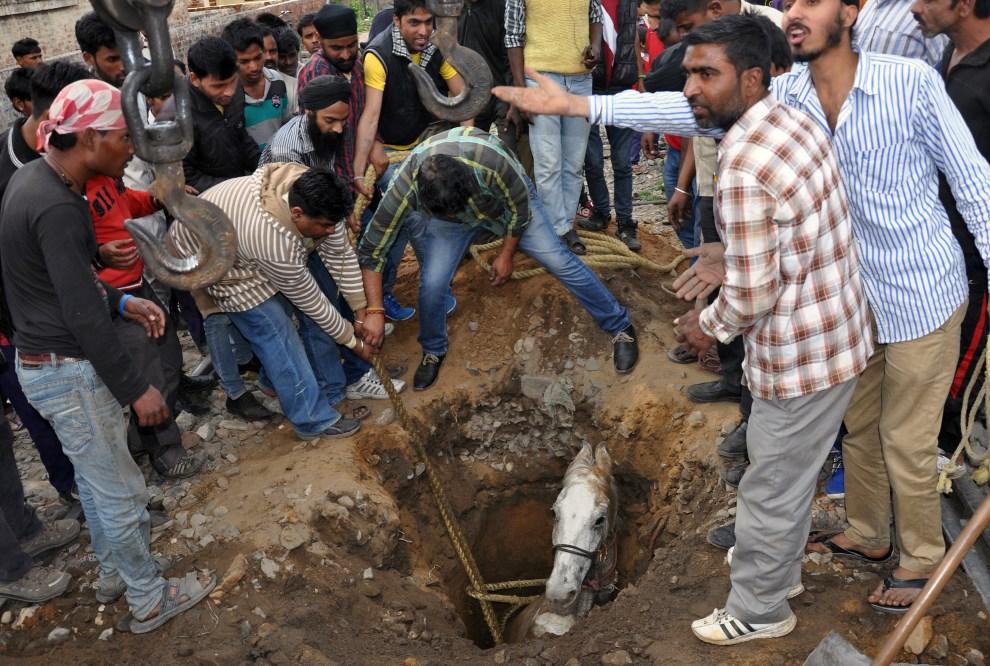 18.INDIE, Jalandhar, 5 marca 2014: Mężczyźni starają się wyciągnąć konia, który wpadł do dołu. AFP PHOTO/STR