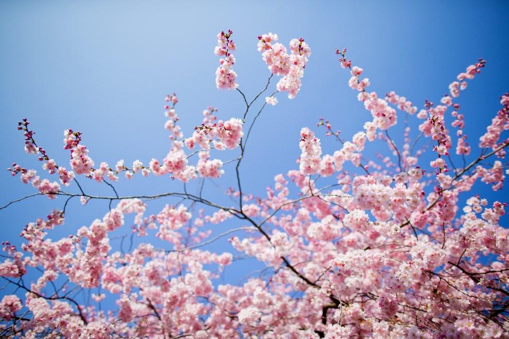 1.NIEMCY, Münster, 12 marca 2014: Kwitnące drzewo wiśni. AFP PHOTO / DPA / ROLF VENNENBERND /