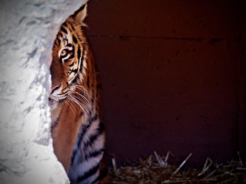 26.NIEMCY, Monachium, 17 marca 2014: Tygrys z miejskiego ogrodu zoologicznego.  AFP PHOTO / DPA / NICOLAS ARMER