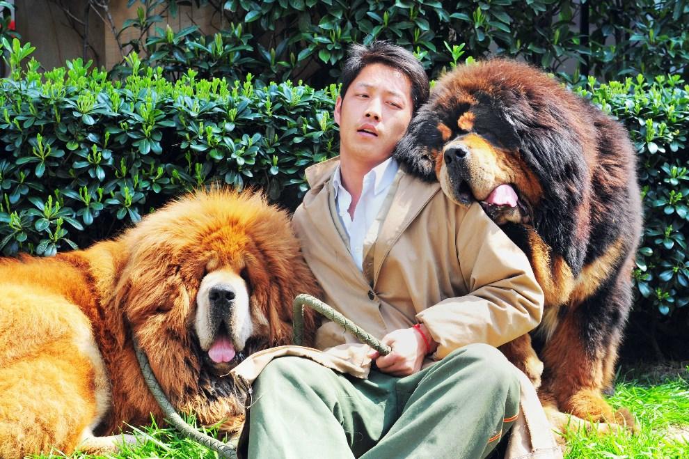 28.CHINY, Hangzhou, 18 marca 2014: Mastify tybetańskie sprzedane podczas aukcji zwierząt luksusowych. AFP PHOTO
