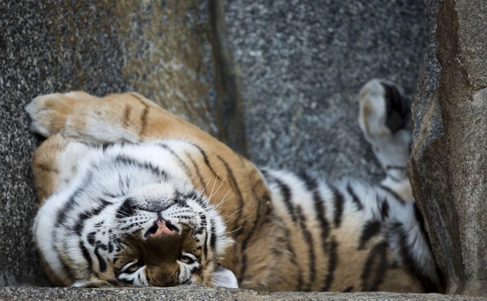 37.NIEMCY, Berlinm 24 marca 2014: Tygrys z miejskiego ogrodu zoologicznego. AFP PHOTO / JOHN MACDOUGALL