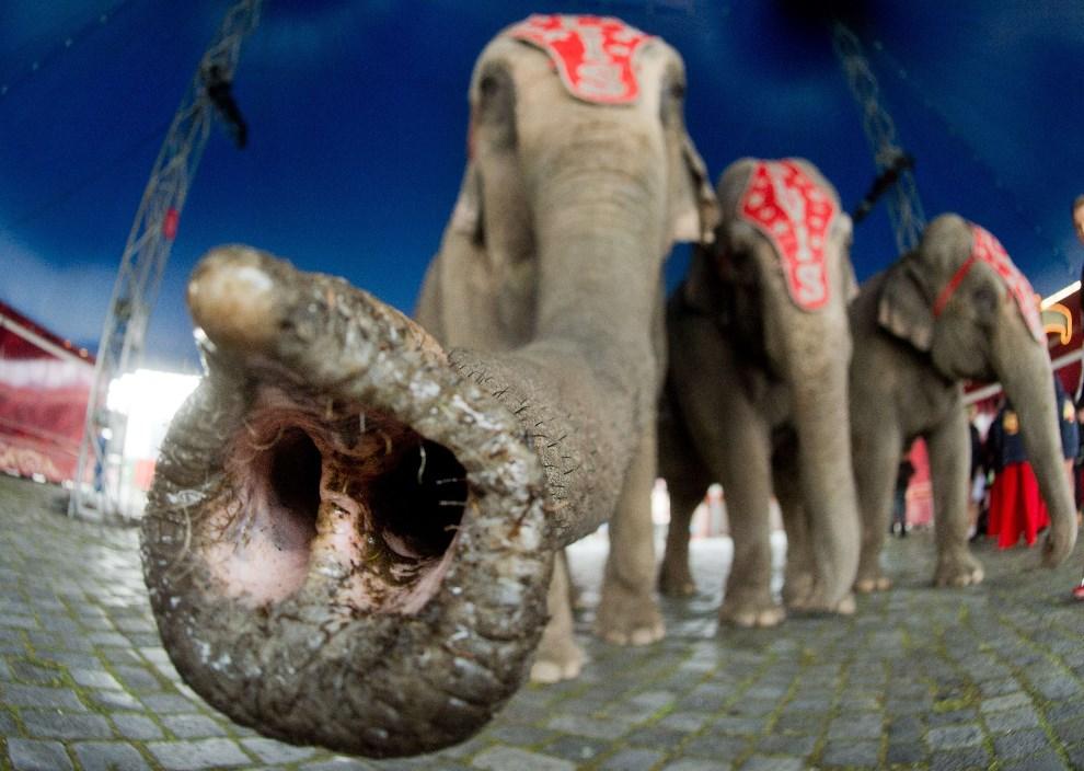 38.NIEMCY, Hanower, 24 marca 2014: Słoń z cyrku Charles Knie, podczas sesji zdjęciowej. AFP PHOTO / DPA / JULIAN STRATENSCHULTE