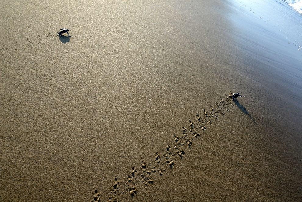 39.INDONEZJA, Jawa, 23 marca 2014: Małe żółwie, zaraz po wykluciu, zmierzają w kierunku morza. AFP PHOTO / SONNY TUMBELAKA