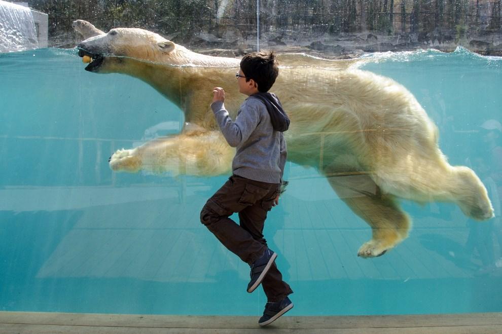 1.FRANCJA, Miluza, 2 kwietnia 2014: Chłopiec obok niedźwiedzia polarnego w miejskim ogrodzie zoologicznym. AFP PHOTO / SEBASTIEN BOZON