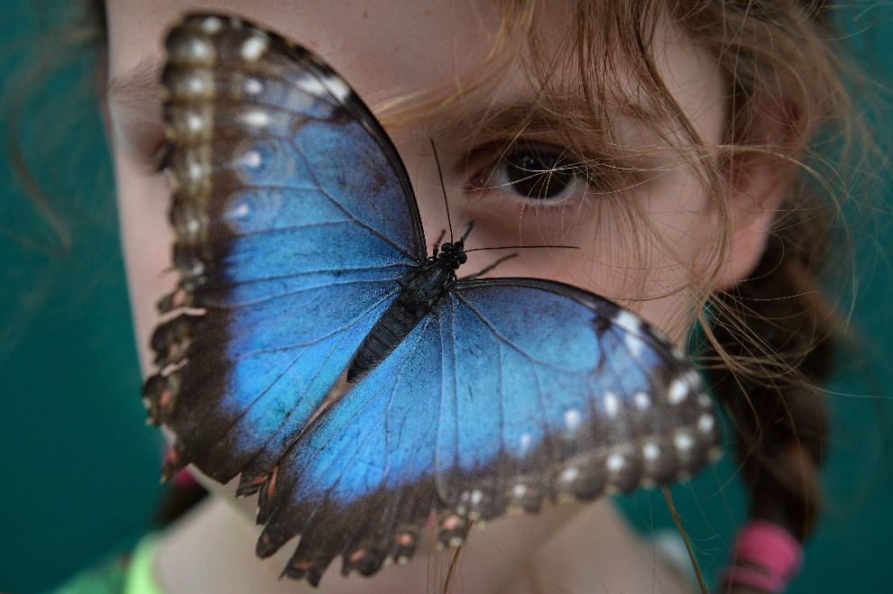 22.WIELKA BRYTANIA, Londyn, 31 marca 2014: Motyl na nosie dziewczynki zwiedzającej Muzeum Historii Naturalnej. AFP PHOTO / BEN STANSALL