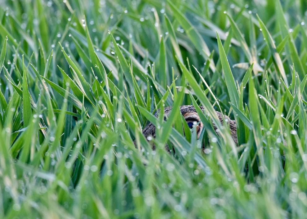 23.NIEMCY, Sachsendorf, 3 kwietnia 2014: Królik ukrywający się w trawie pokrytej rosą. AFP PHOTO / Philippe Lopez