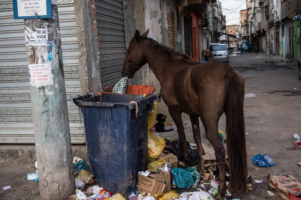 23.BRAZYLIA, Rio de Janeiro, 30 marca 2014: Koń wyjadający resztki z kosza na śmieci w faweli da Mare. AFP PHOTO / YASUYOSHI CHIBA