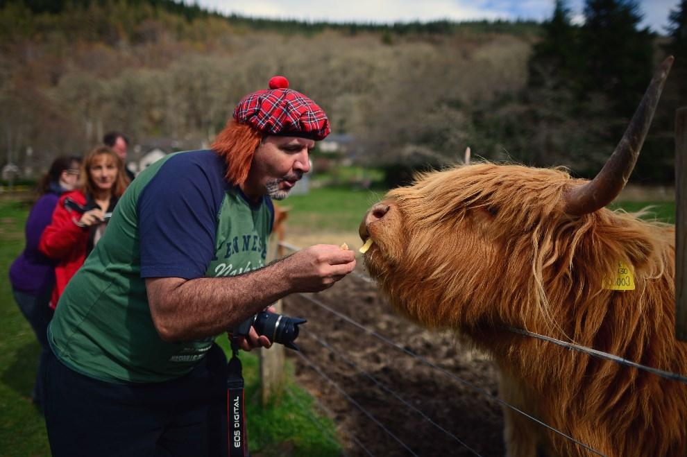 23.SZKOCJA, Invermoriston, 16 kwietnia 2014: Turysta karmiący krowę. (Foto: Jeff J Mitchell/Getty Images)