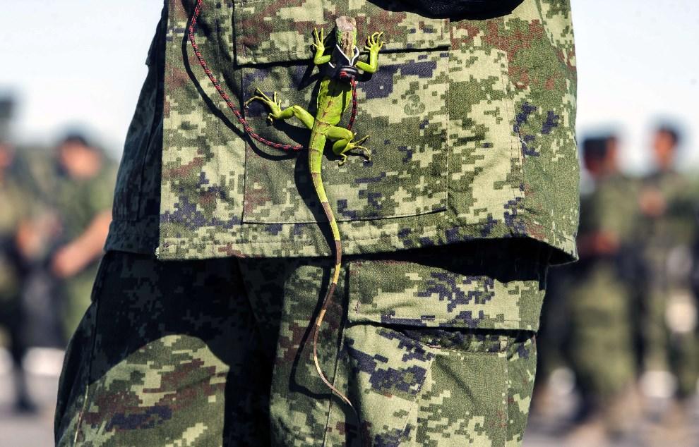 23.MEKSYK, Monterrey, 8 kwietnia 2014: Iguana na mundurze żołnierza nadzorującego niszczenie przechwyconej marihuany. AFP PHOTO/Julio Cesar Aguilar