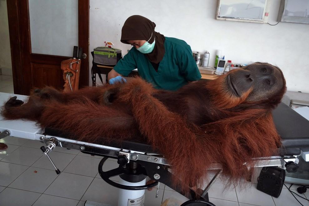 24.INDONEZJA, Sibolangit, 16 kwietnia 2014: Orangutan poddawany profilaktycznemu badaniu. AFP PHOTO / SUTANTA ADITYA