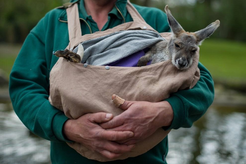 25.NIEMCY, Hamburg, 11 kwietnia 2014: Pracownik ogrodu zoologicznego, Thomas Feierabend, trzyma w torbie małego kangura.  AFP PHOTO / DPA / MAJA HITIJ