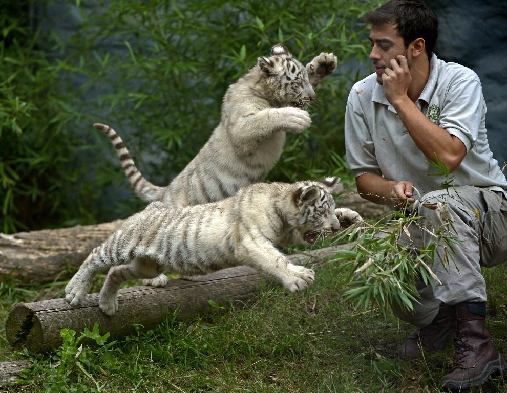 26.ARGENTYNA, Buenos Aires, 17 kwietnia 2014: Tygrysy bengalskie z miejskiego ogrodu zoologicznego, podczas zabawy. AFP PHOTO / JUAN MABROMATA
