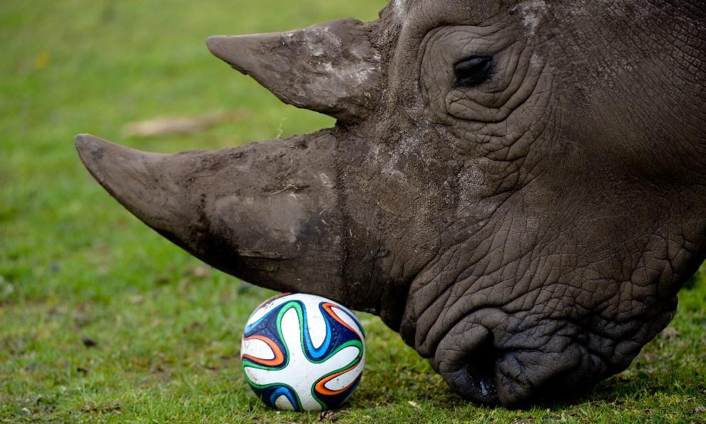 26.NIEMCY, Hodenhagen, 13 kwietnia 2014: Nosorożec bawiący się piłką. AFP PHOTO / DPA/ PETER STEFFEN